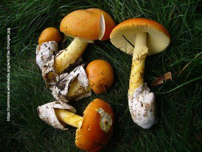 Wild Mushrooms Fruiting in the Fall Season