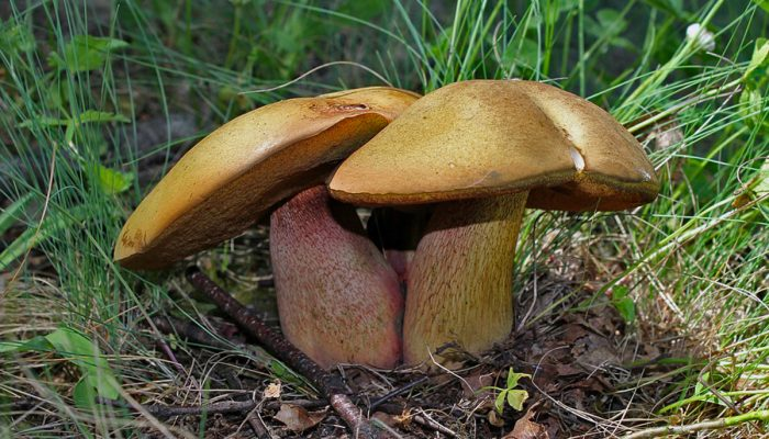 Four Reasons to Start Collecting Wild Mushrooms